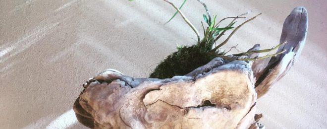 セッコクラン 流木 山野草