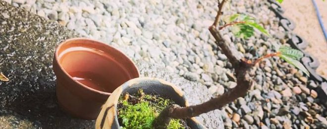 ミニ盆栽 盆栽