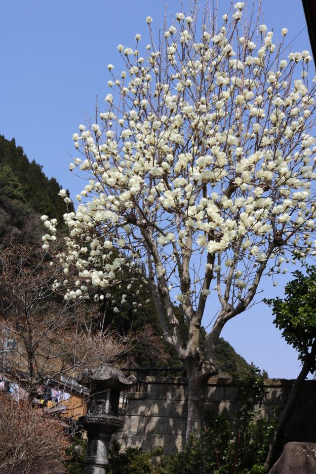 木蓮 花 庭
