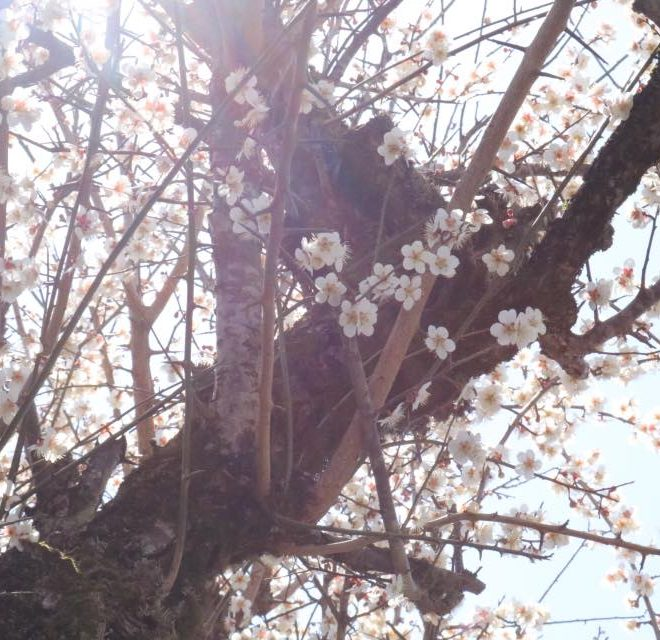 庭 梅の古木
