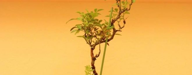 盆栽,野ばら,宗祇庵