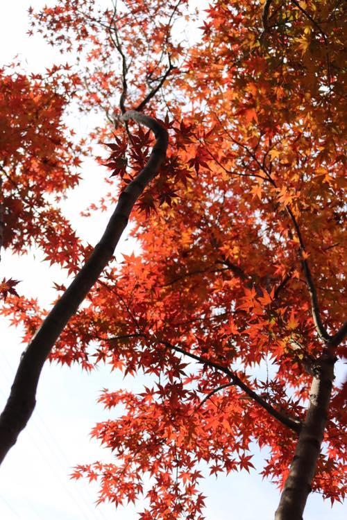 イロハモミジ 庭 秋