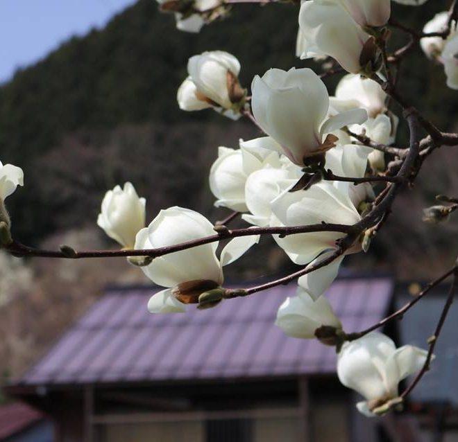 桜 愛宕公園 長良川