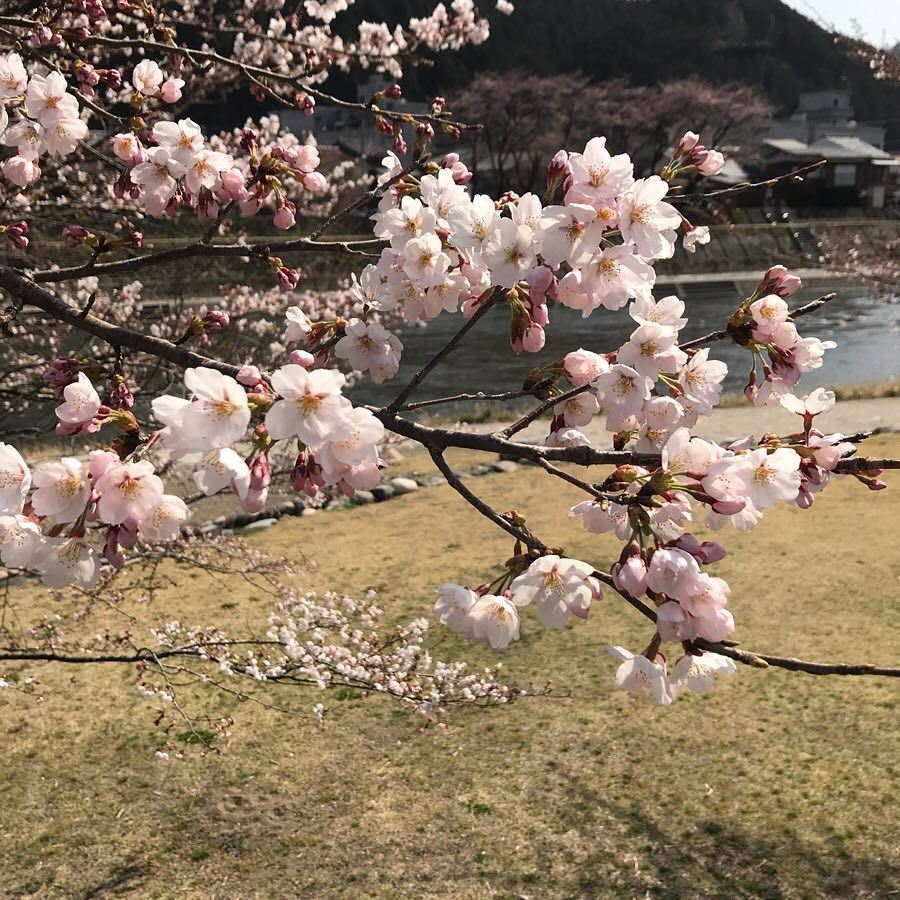 桜 愛宕公園 吉田川