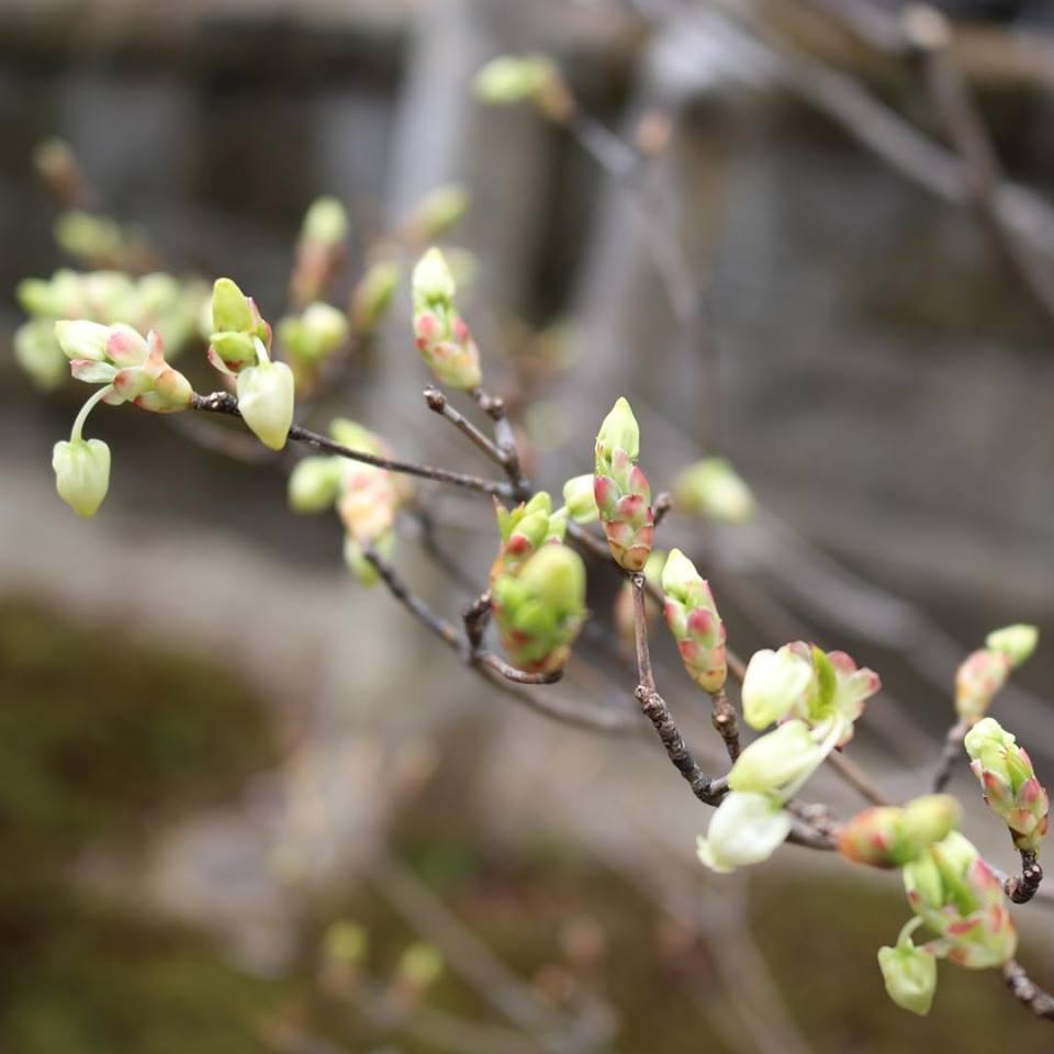 ドウダンツツジ 春